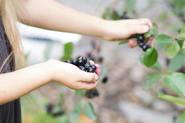 Vi plukker aronia bær