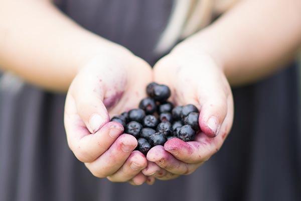 Vi plukker Aronia... verdens stærkeste antioxidant