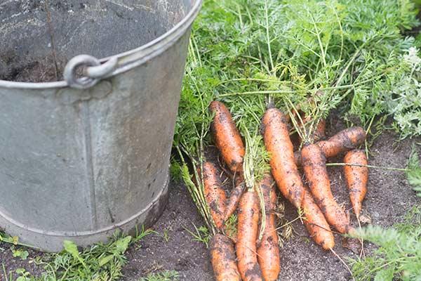 Økologiske gulerødder fra køkkenhaven