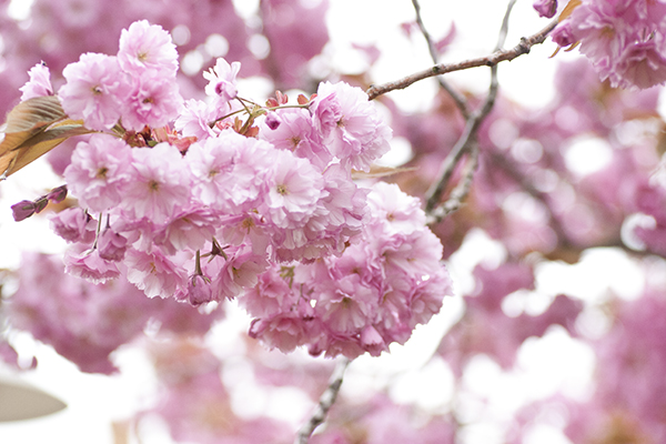 Fanø forår kirsebærblomst
