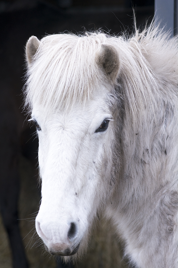 Klakki islænder hest