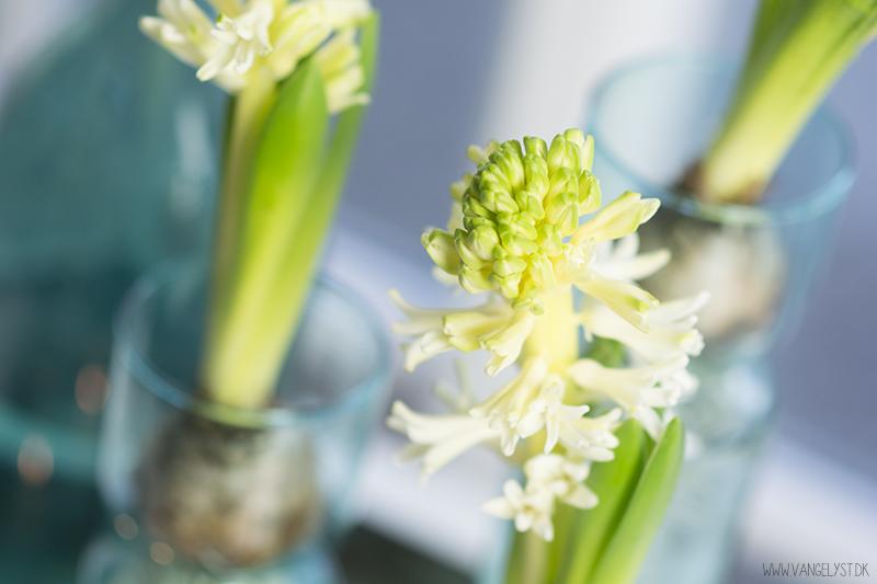 turkis stilleben hyacinter closeup