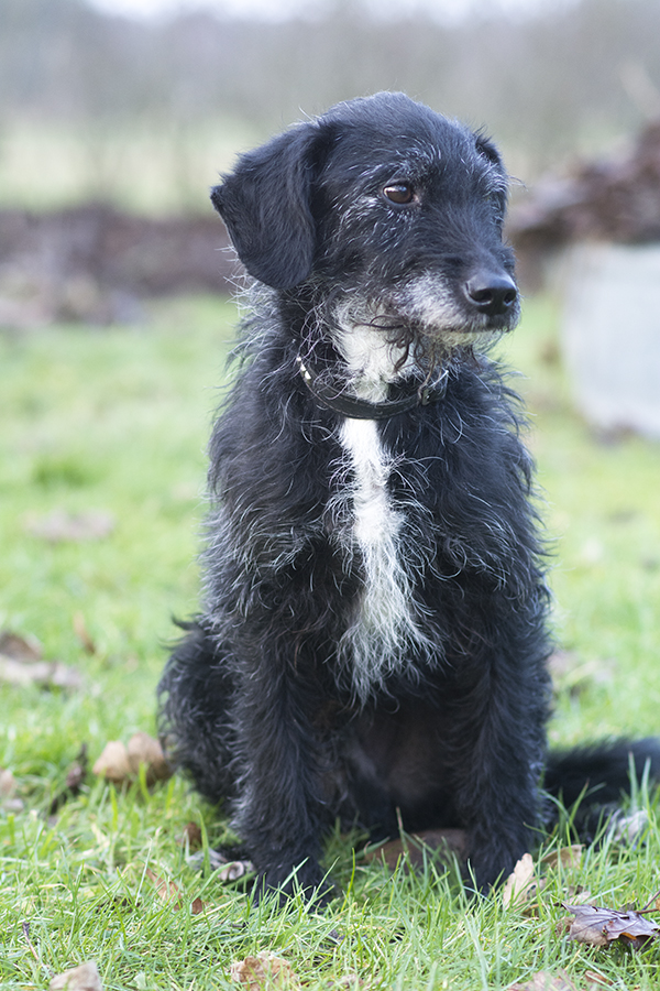 walther puddel dansk svensk gårdhund