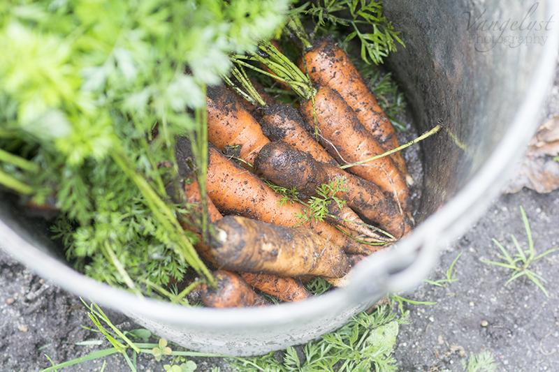 økologiske gulerødder zinkspand køkkenhave