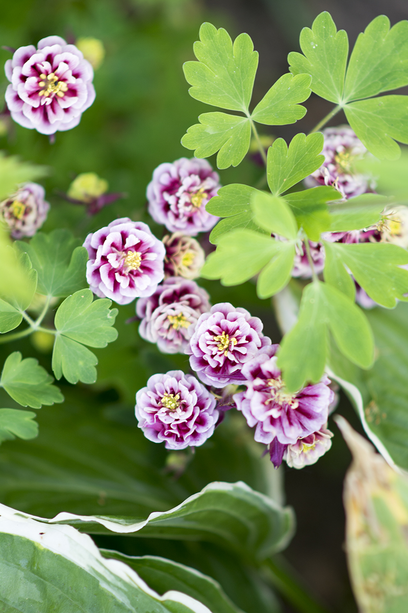 Aquilegia vulgaris Winky Double RED WHITE- Akeleje1