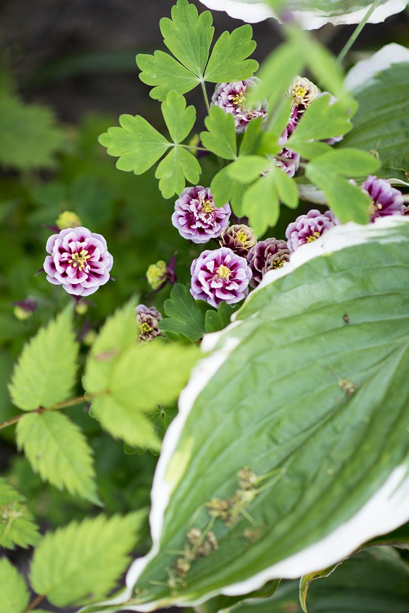 dobbelt akeleje lilla hvid