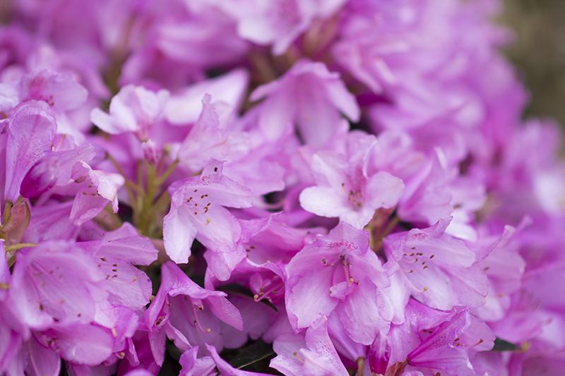 lilla rhododendron ww.vangelyst.dk