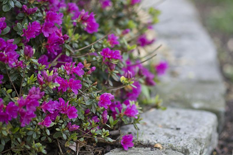 lilla rhododendron www.vangelyst.dk