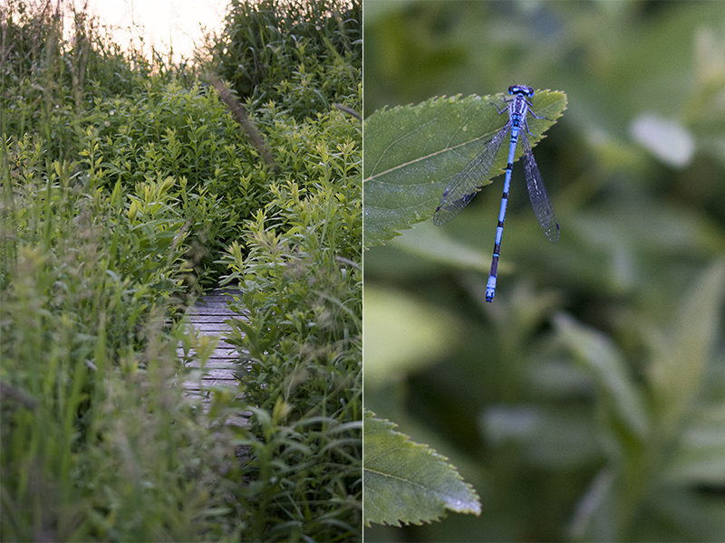 Blå Vandnymfe Coenagrion puella blåt insekt 1