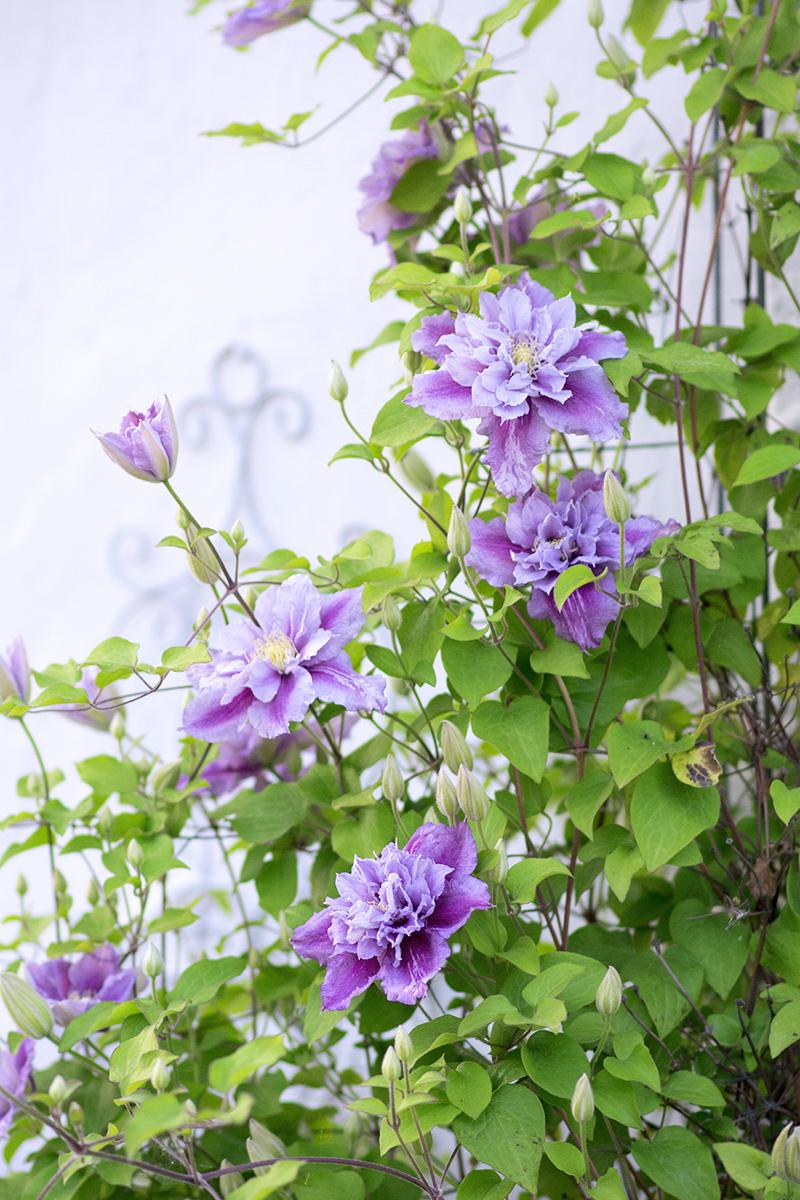 kelmatis lilla