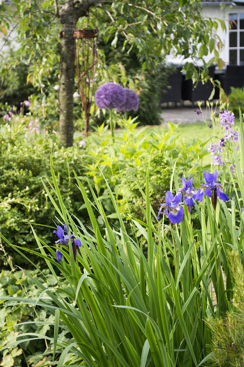 lilla bed blå iris