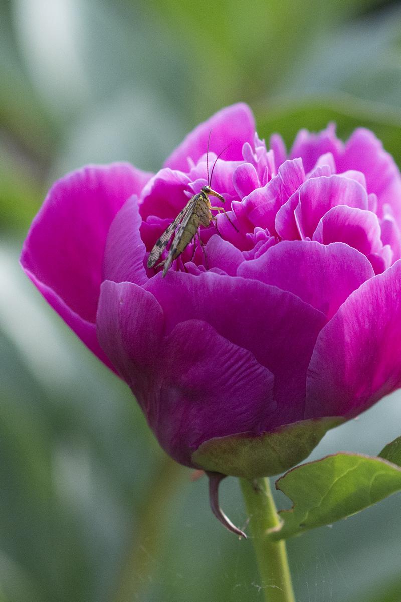 pink pæon insekt