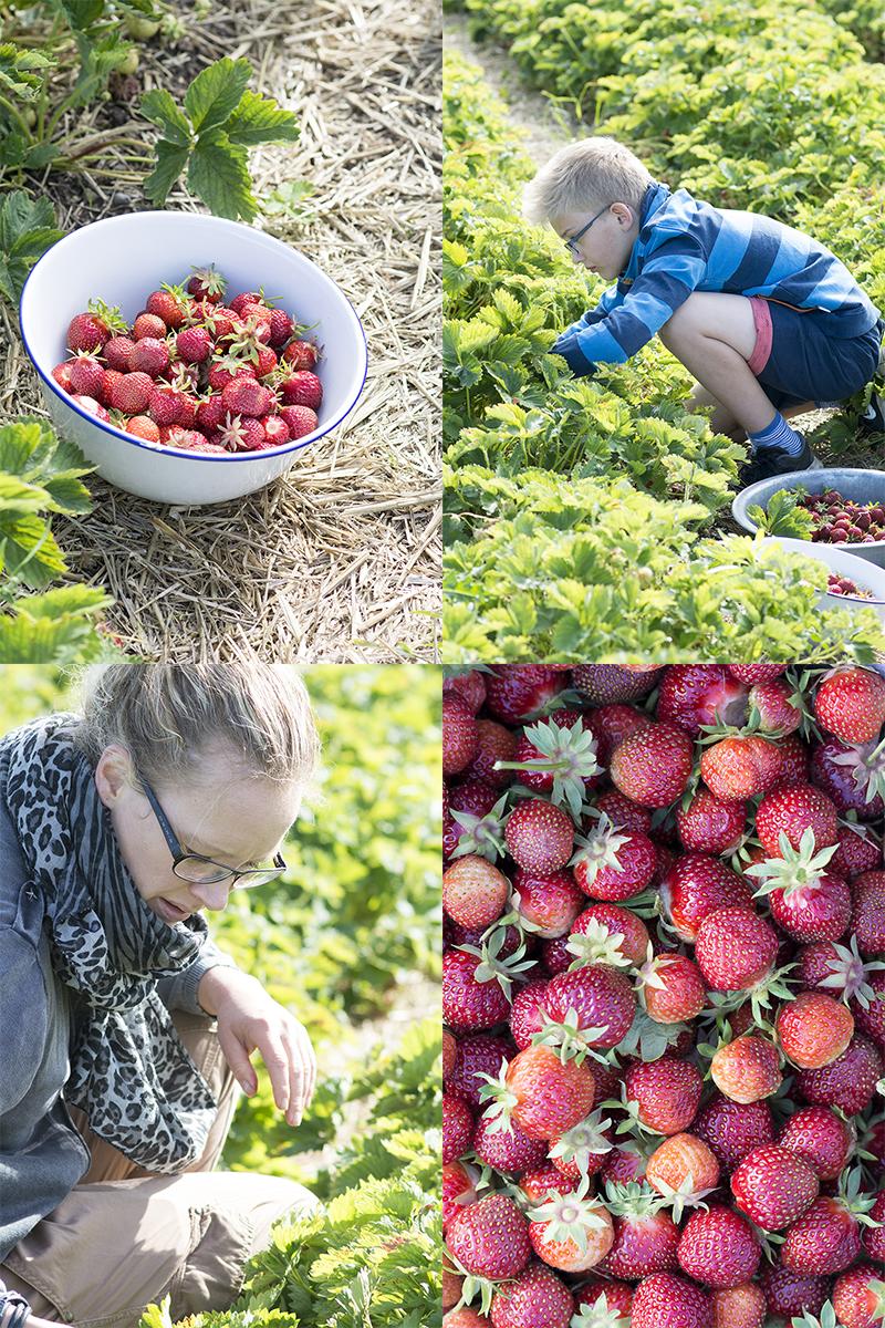 pluk selv jordbær frk grønt