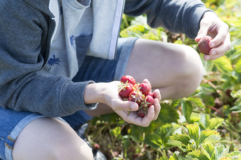 pluk selv jordbær frk. grønt