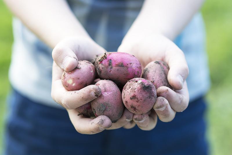 røde nye  kartofter køkkenhave