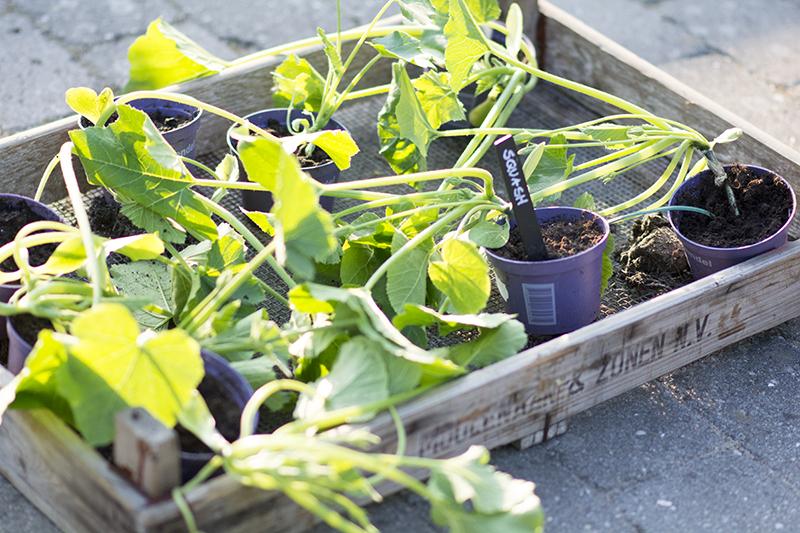 squash plante
