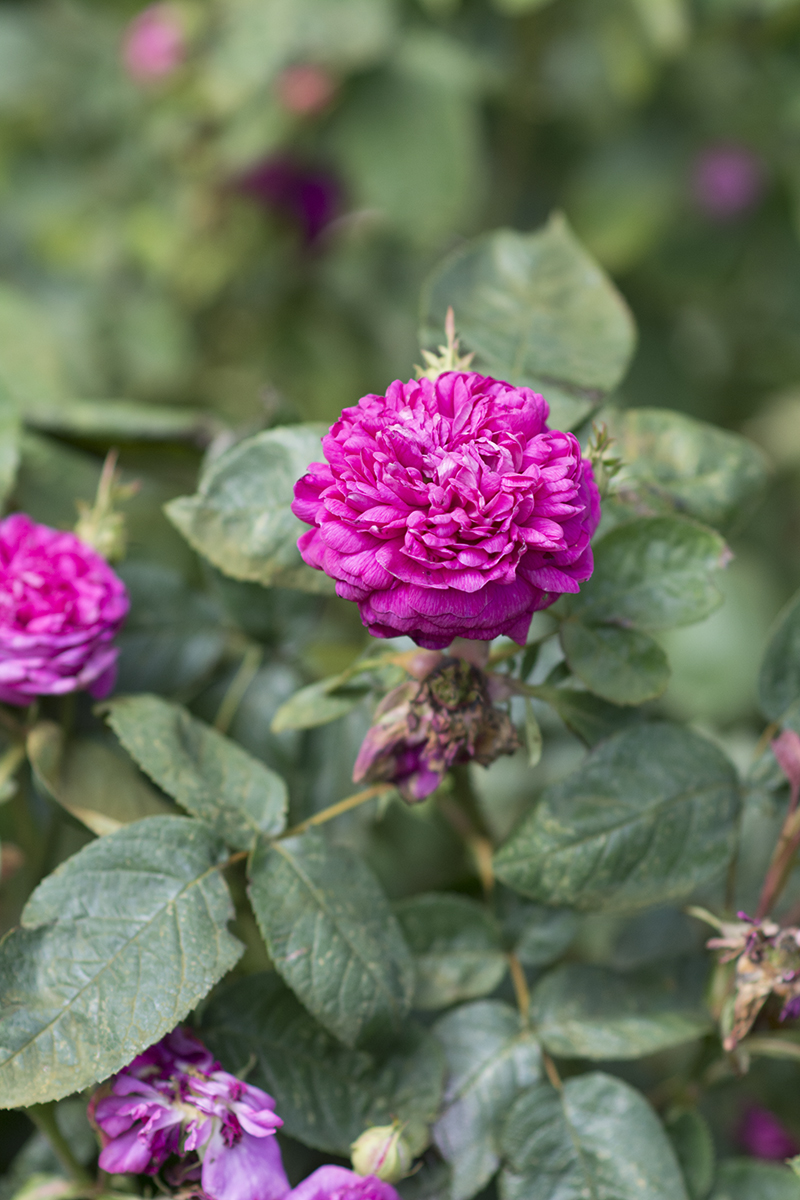 fru pedersens have rose