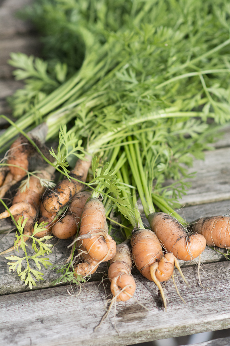 krumme gulerødder forspiring