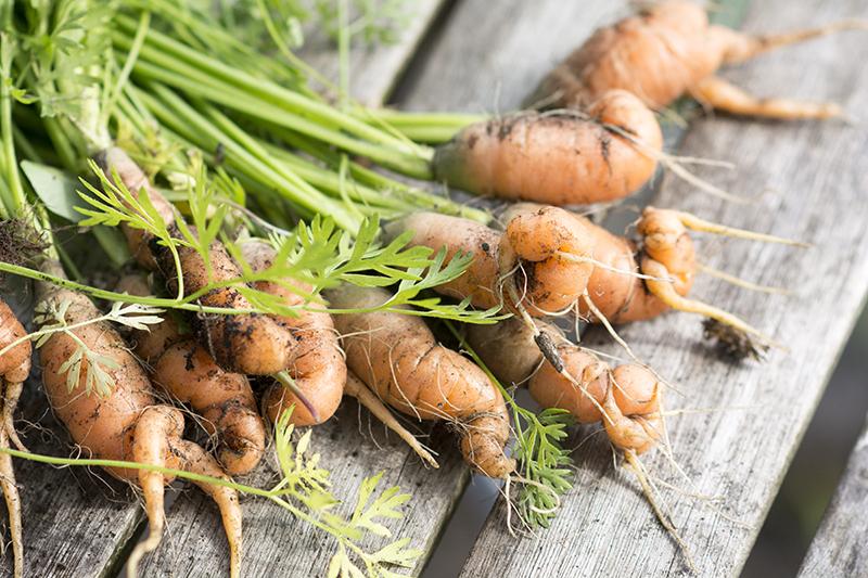 gulerødder forspiring