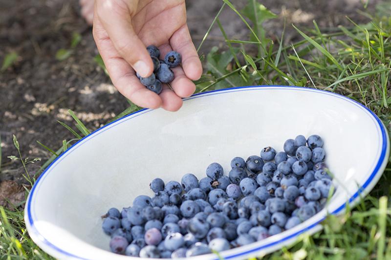 blåbær i køkkenhaven - www.vangelyst.dk
