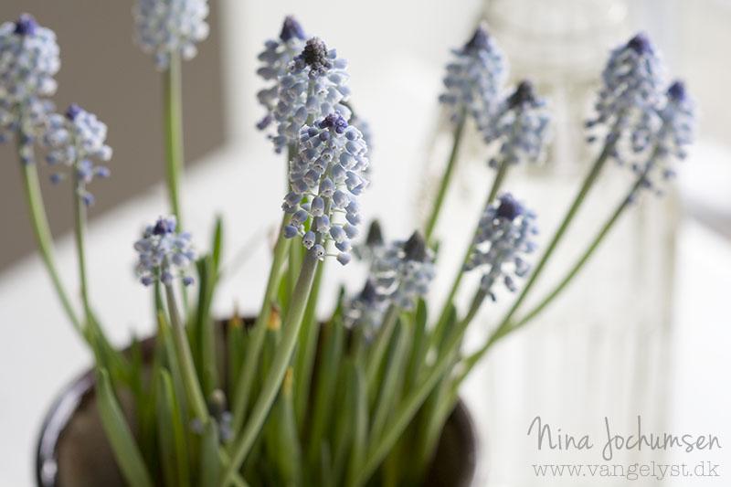 Perle hyacinter forår - www.vangelyst.dk