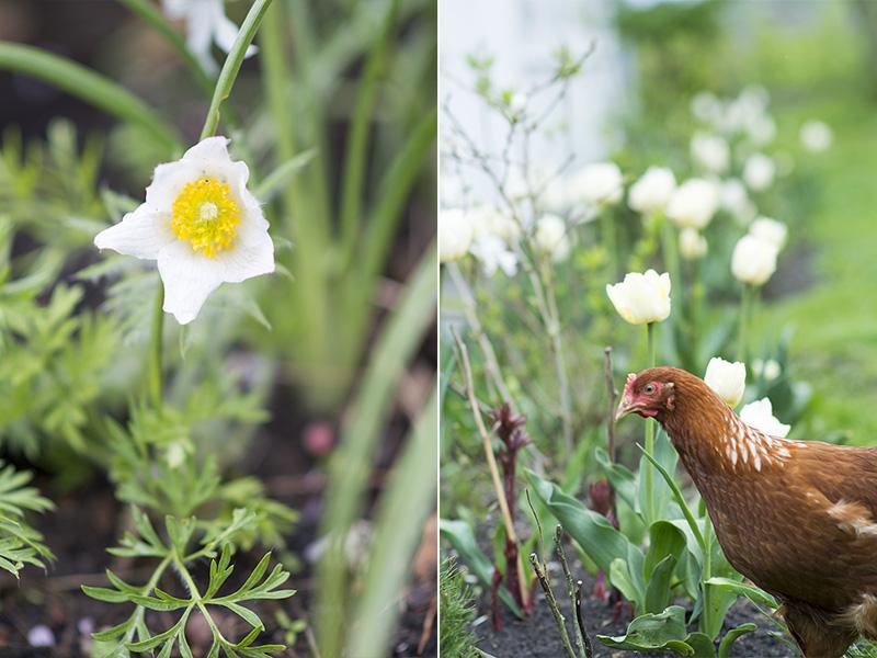 Kobjælde og hvide tulipaner - www.vangelyst.dk