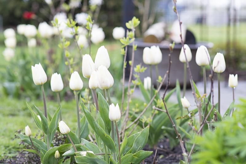 hvide tulipaner - www.vangelyst.dk