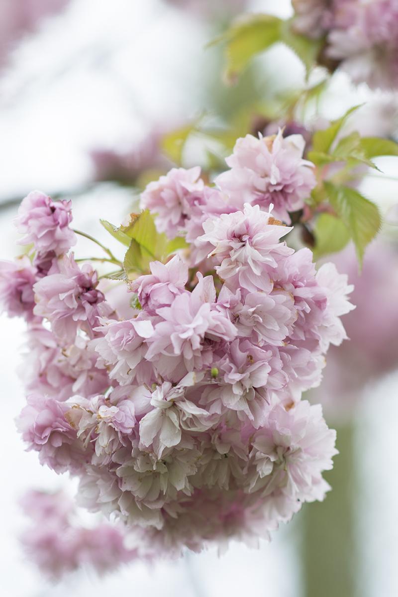 japansk kirsebær blomster - www.vangelyst.dk