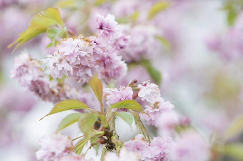 japansk kirsebær lyserød - www.vangelyst.dk