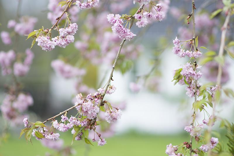 japansk kirsebær - www.vangelyst.dk