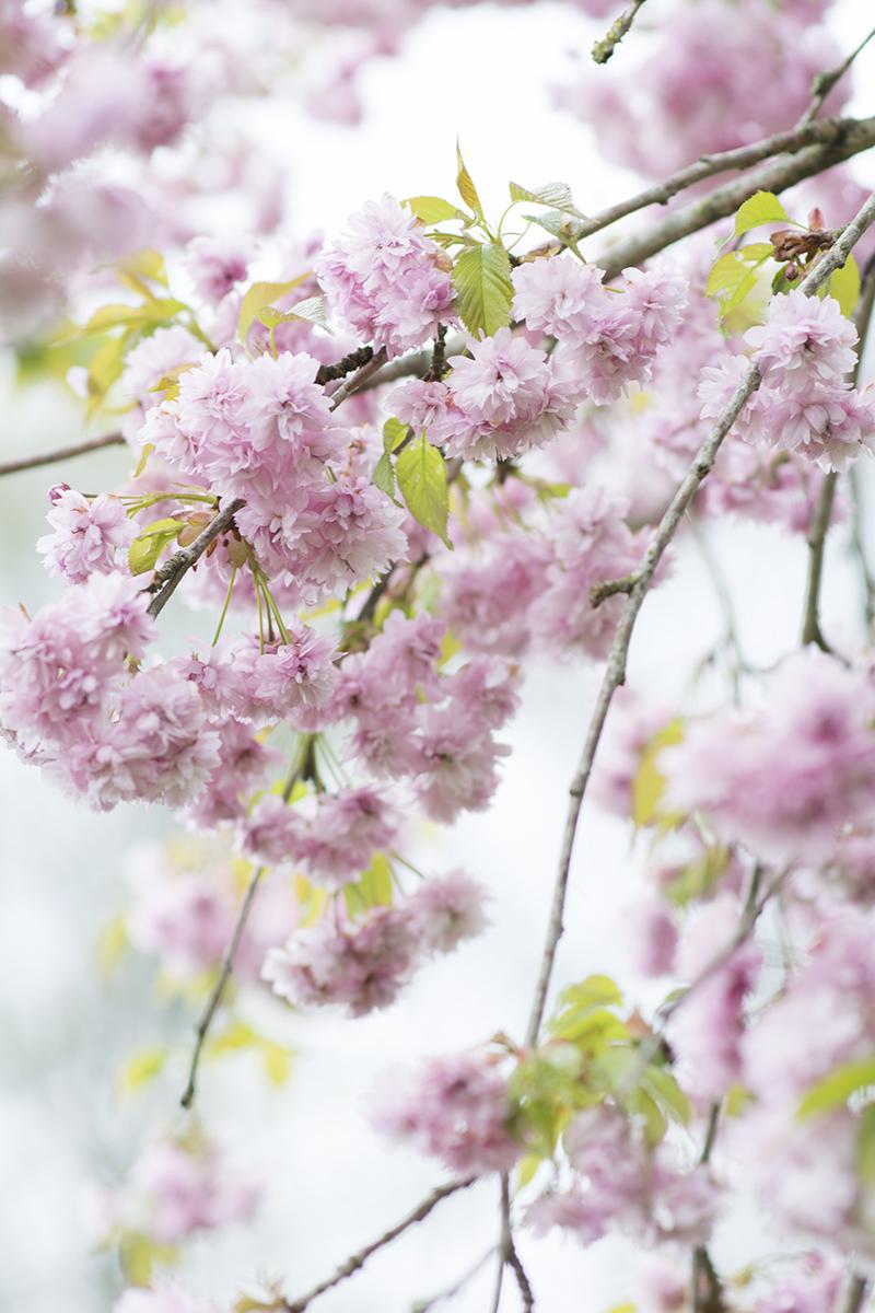 japansk kirsebærtræ blomster - www.vangelyst.dk
