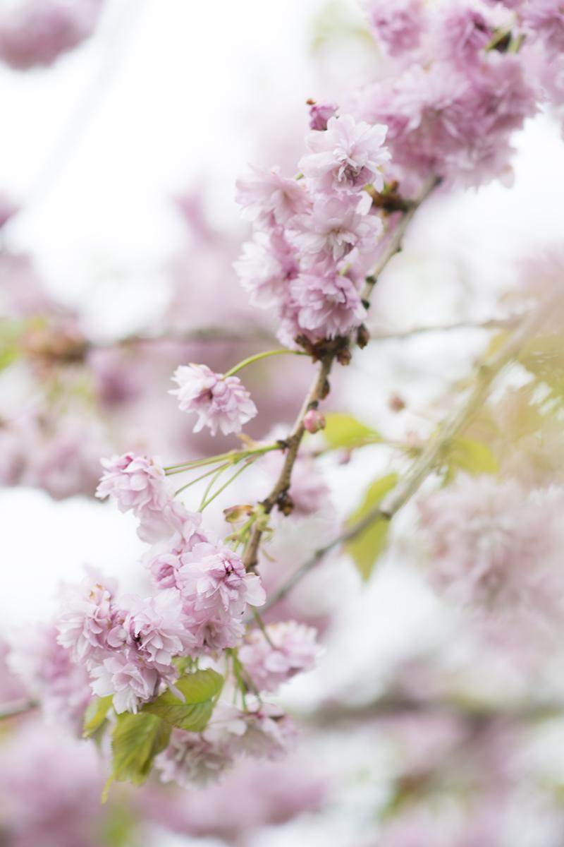 japansk kirsebærtræ lyserøde blomster - www.vangelyst.dk