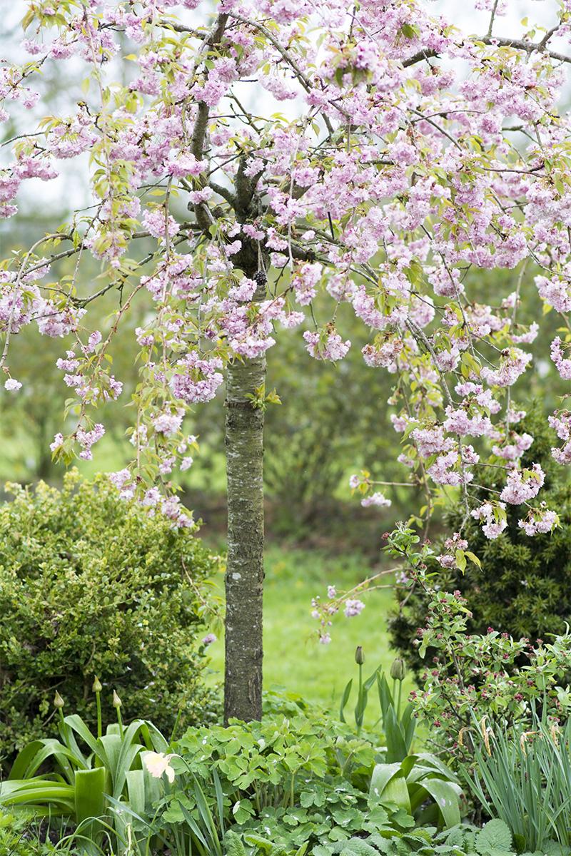 japansk kirsebærtræ - www.vangelyst.dk