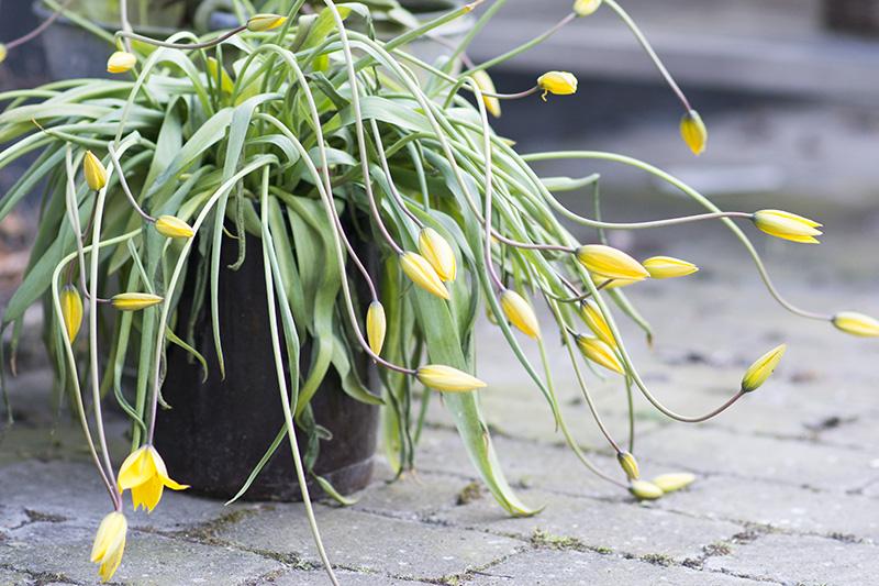 vilde gule tulipaner - www.vangelyst.dk