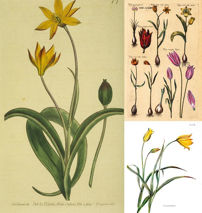 Tegning af vilde tulipaner - www.vangelyst.dk