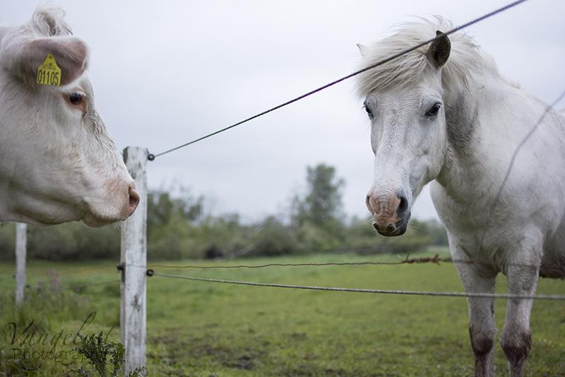Bedste venner ko hest - www.vangelyst.dk