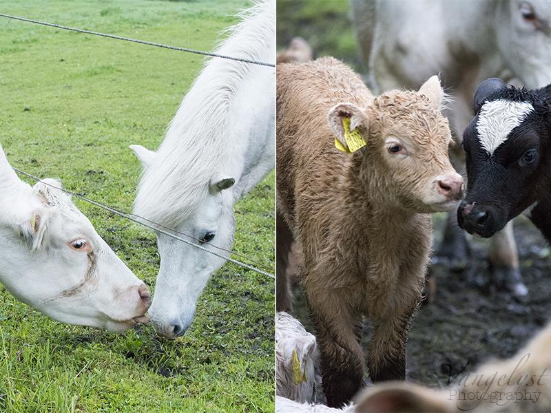 Bedste venner ko hest kalve Limousine - www.vangelyst.dk