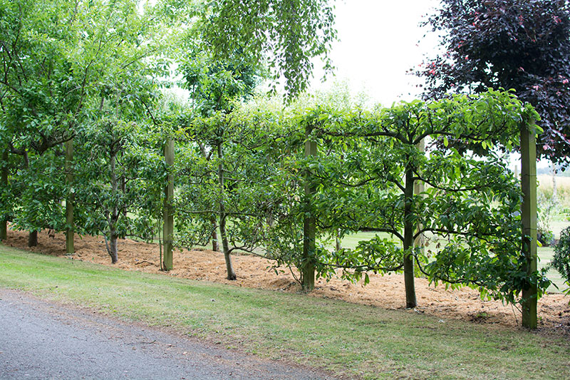 espalier til frugttræer