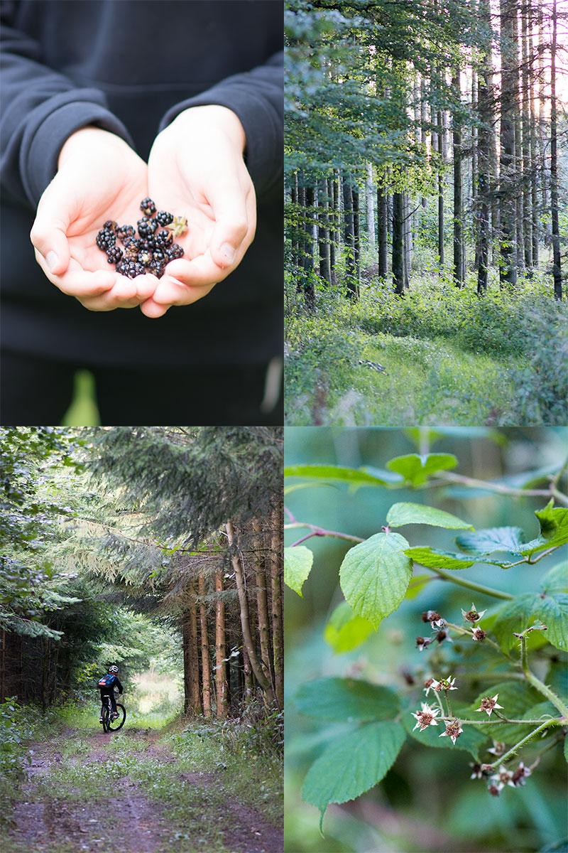 Vilde brombær i skoven - www.vangelyst.dk