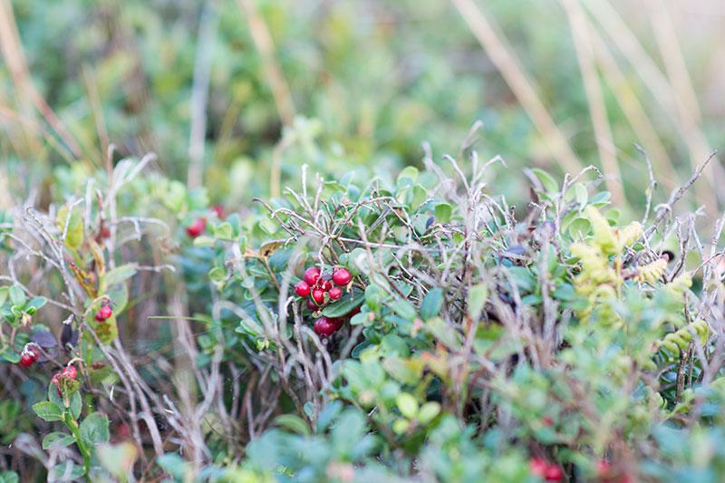 Vilde tyttebær på Randbøl Hede