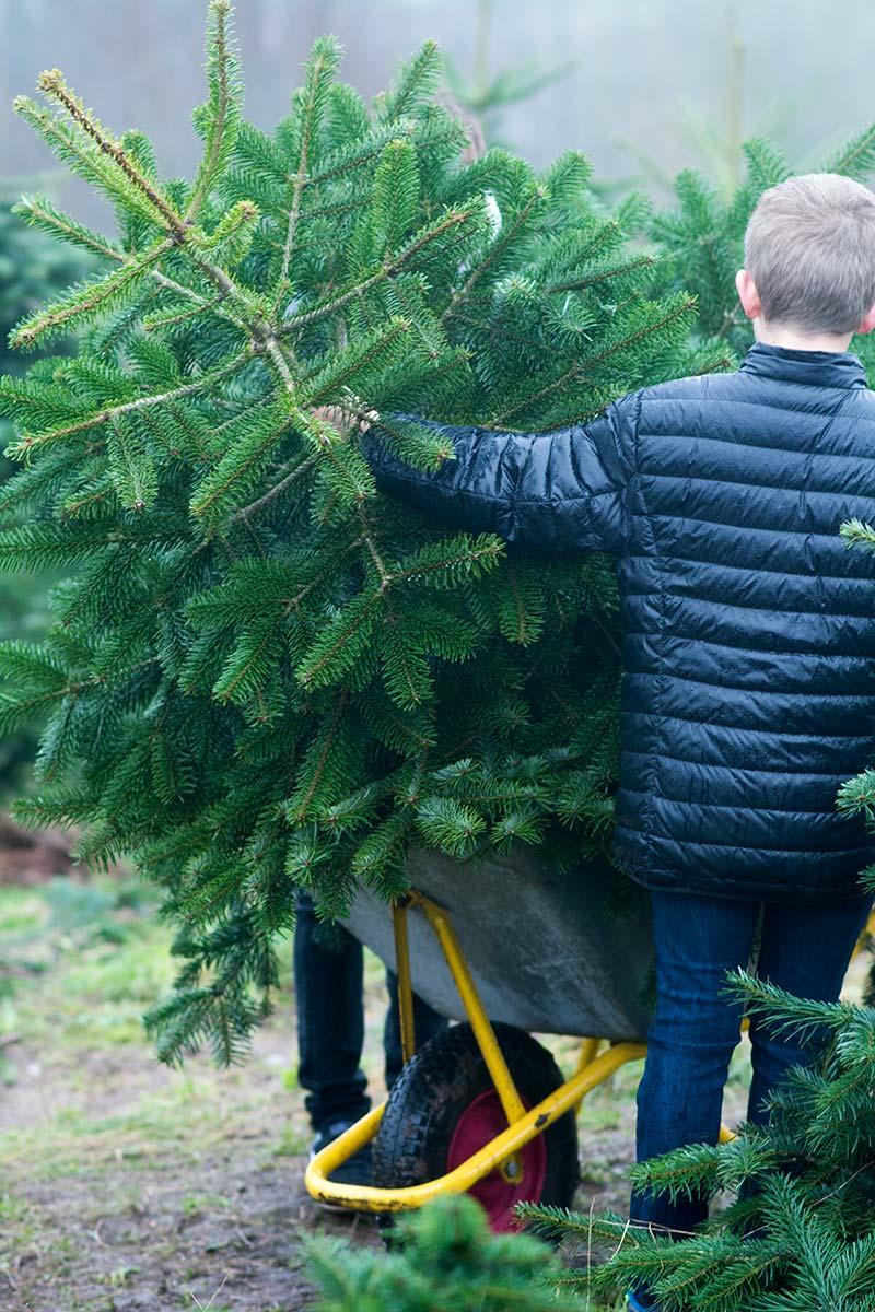 Juletræ hentes 2015 - www.vangelyst.dk