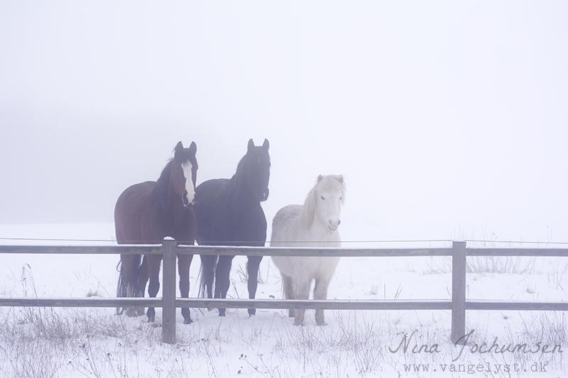 Heste vinter 2016 - www.vangelyst.dk
