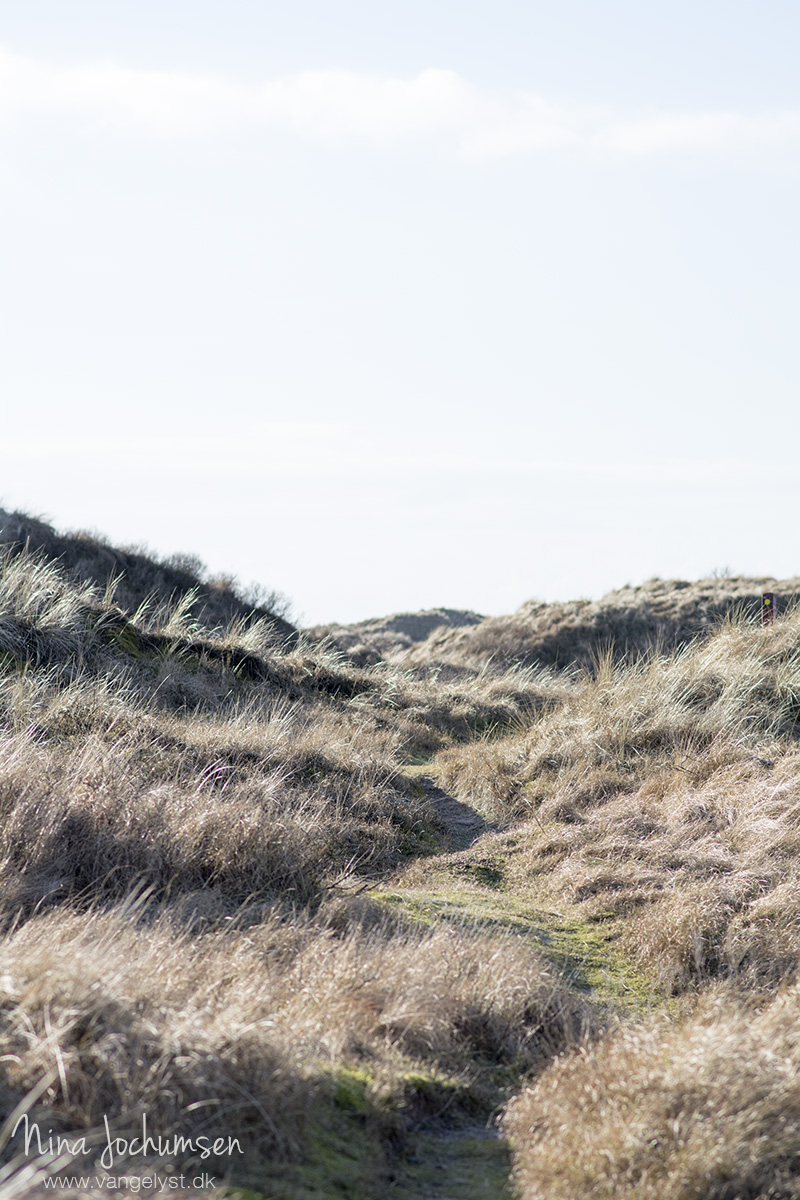 Stier i klitterne på Fanø