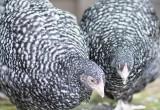 Skrukhøns daggamle kyllinger - www.vangelyst.dk