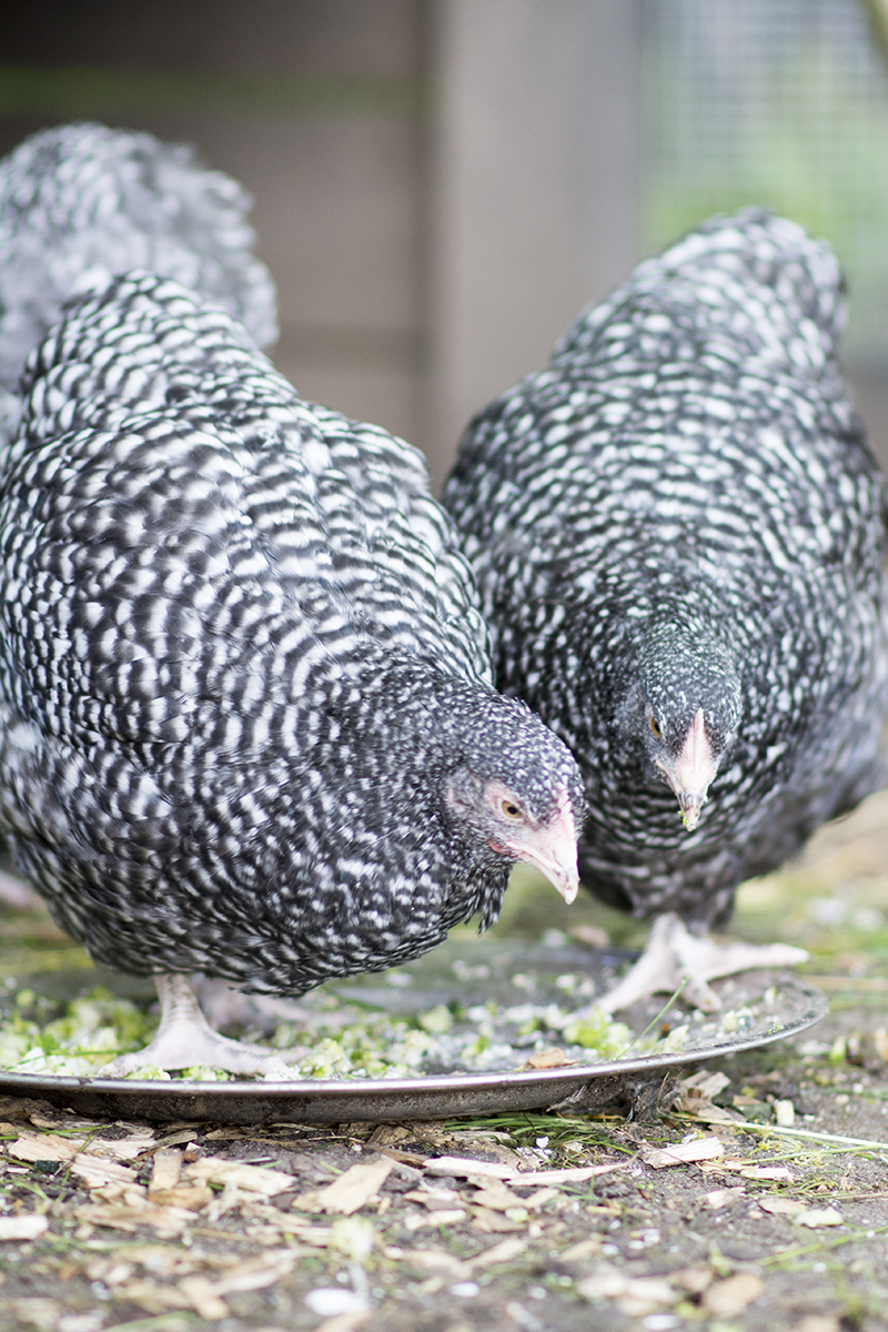 Skruk høne - nu med kyllinger