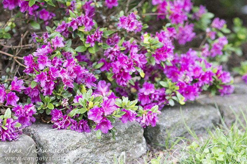mini rhododendron - www.vangelyst.dk