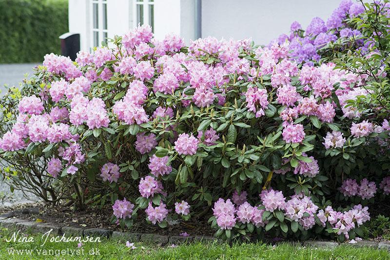 rhododendron blomster lyserød - www.vangelyst.dk