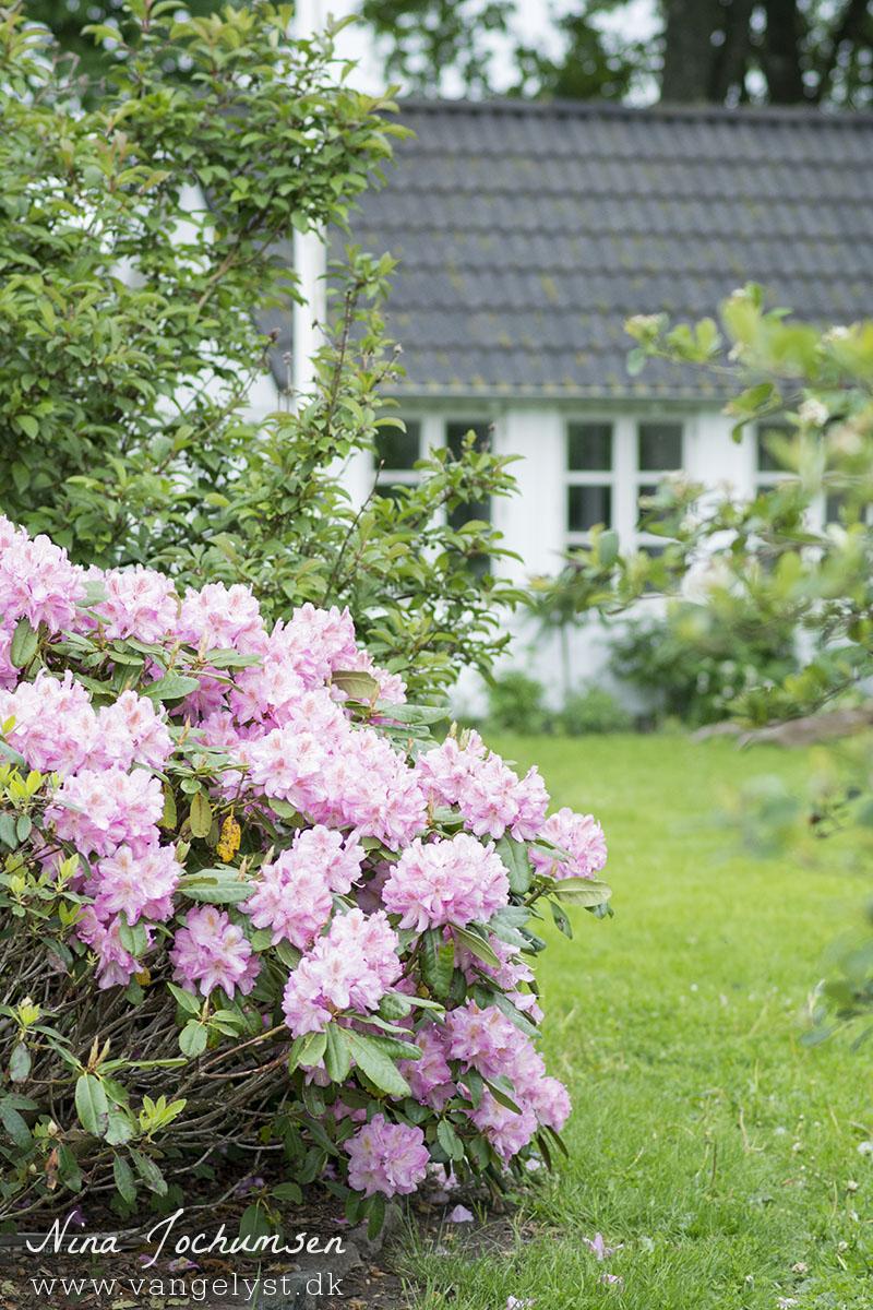 Rhododendron havehus - www.vangelyst.dk