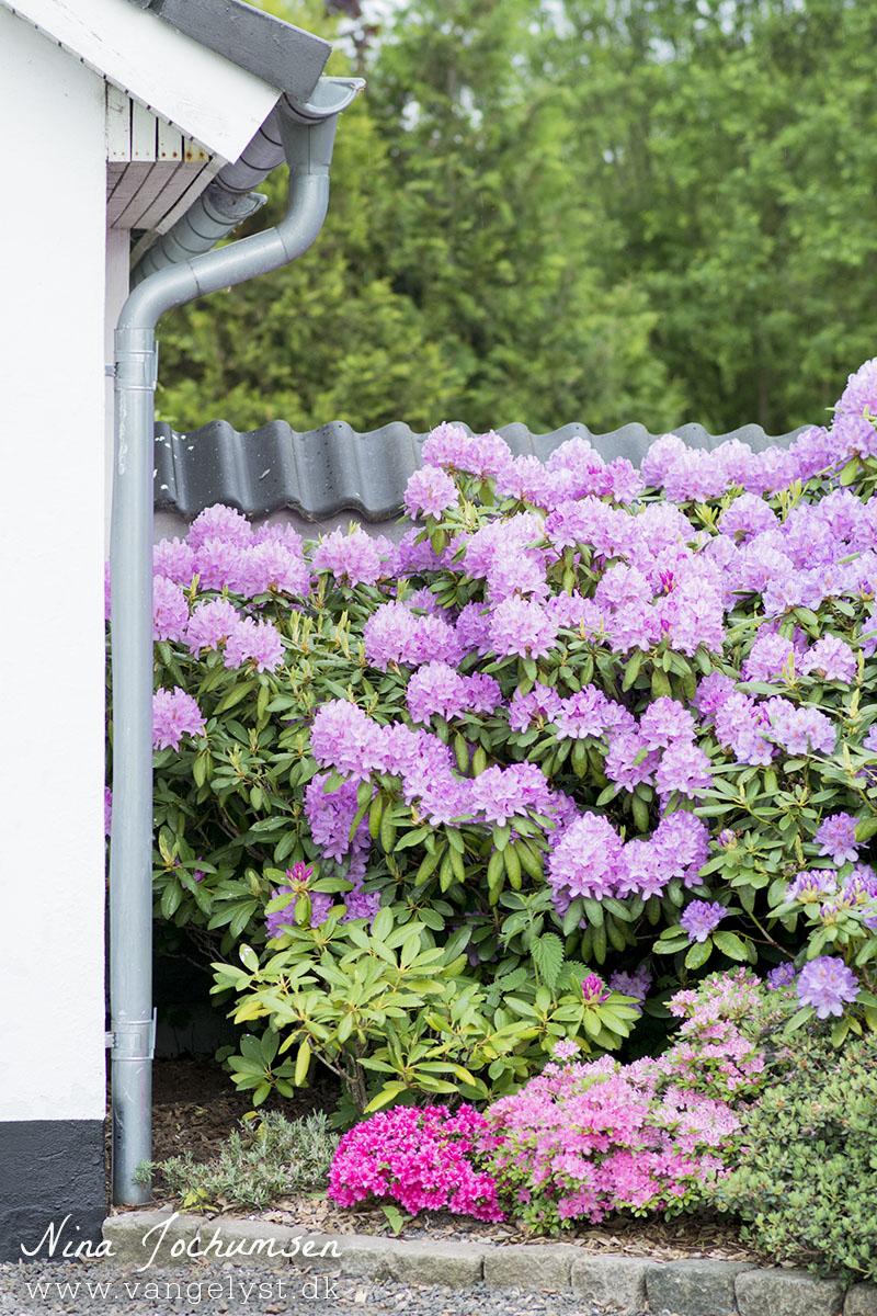 rhododendron planter lilla - www.vangelyst.dk