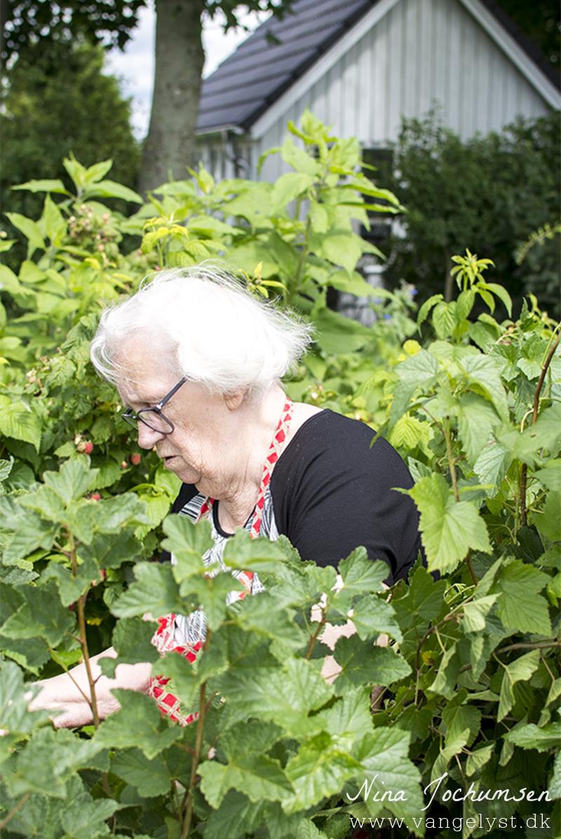 Farmor plukker hindbær 2016 - www.vangelyst.dk